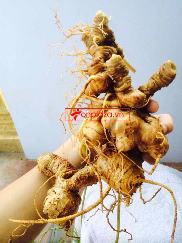 Bình ngâm sâm Ngọc Linh núi tươi loại 1,75 kg/củ 4