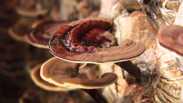 Nấm linh chi có thể thanh nhiệt giải độc