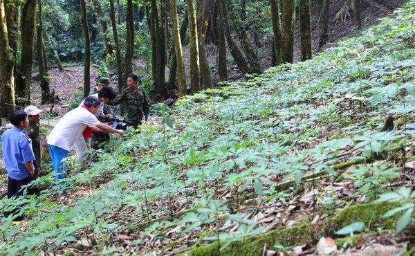 Sâm ngọc linh được phát triển tại núi Ngọc Linh