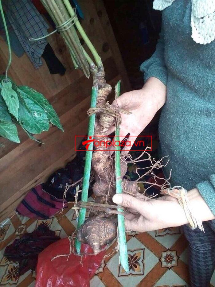 Sâm Ngọc Linh nguyên củ tự nhiên loại 6,2 lạng/củ 2