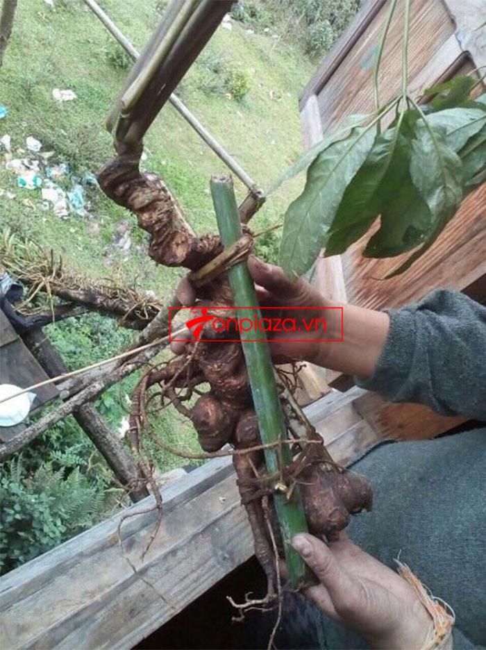 Sâm Ngọc Linh nguyên củ tự nhiên loại 6,2 lạng/củ 3
