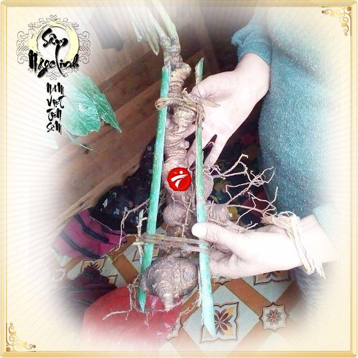 Sâm Ngọc Linh nguyên củ tự nhiên loại 6,2 lạng/củ 4