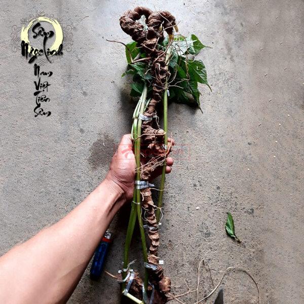 Sâm Ngọc Linh núi tươi loại 6,5 lạng/củ