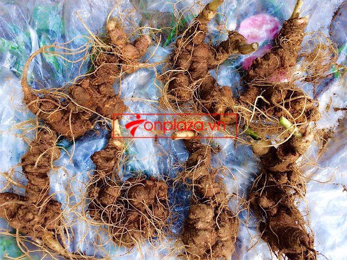 Sâm Ngọc Linh trồng 10 - 20 củ/1 kg 1