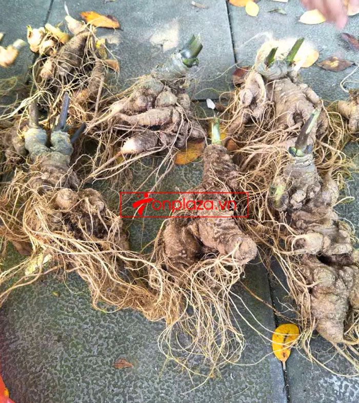 Sâm Ngọc Linh trồng 10 - 20 củ/1 kg 10