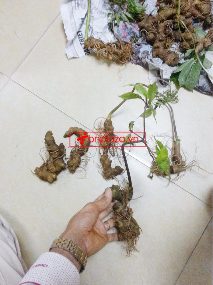 Sâm Ngọc Linh trồng 10 - 20 củ/1 kg 11