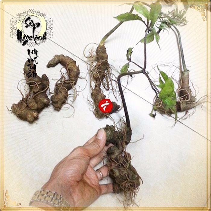 Sâm Ngọc Linh trồng 10 - 20 củ/1 kg 12