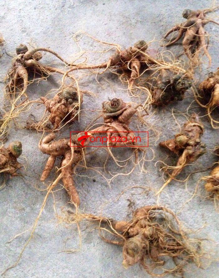 Sâm Ngọc Linh trồng 10 - 20 củ/1 kg 2