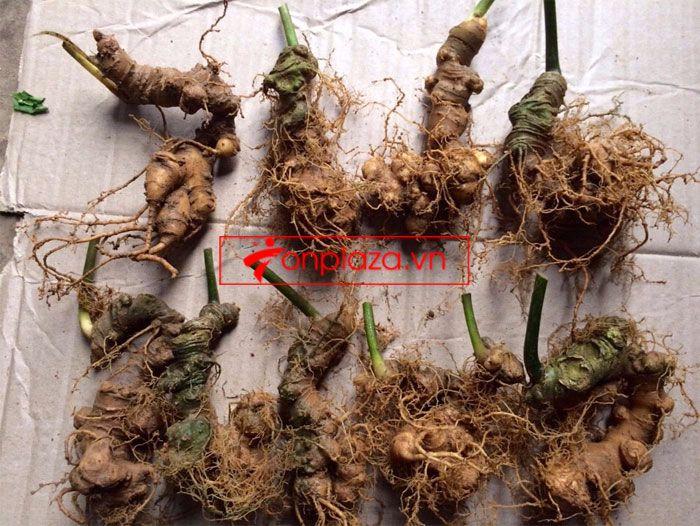 Sâm Ngọc Linh trồng 10 - 20 củ/1 kg 5
