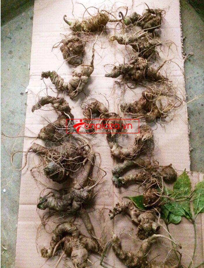 Sâm Ngọc Linh trồng 10 - 20 củ/1 kg 6