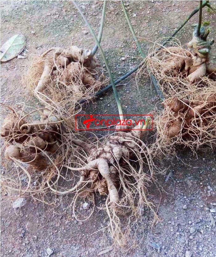 Sâm Ngọc Linh trồng 10 - 20 củ/1 kg 7