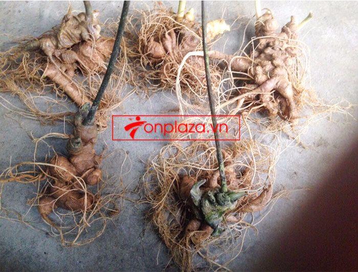 Sâm Ngọc Linh trồng 10 - 20 củ/1 kg 8