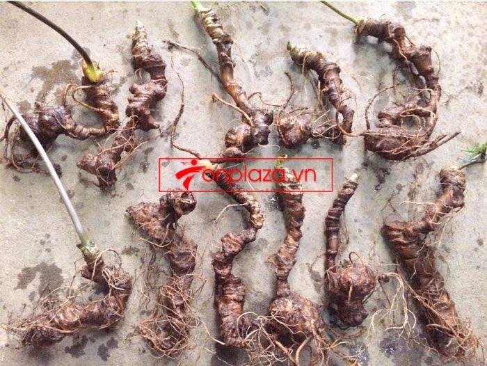 Sâm Ngọc Linh trồng 10 - 20 củ/1 kg 9