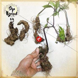 Sâm Ngọc Linh trồng 10 - 20 củ/1 kg