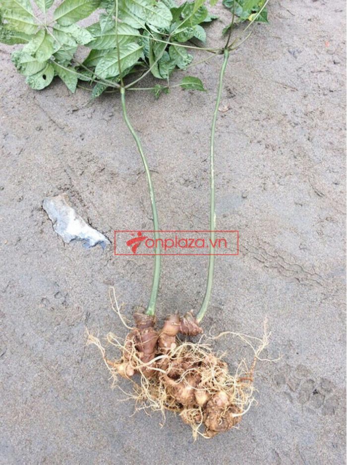 Sâm Ngọc Linh trồng 30 tuổi củ to loại 1,2 kg/củ 1