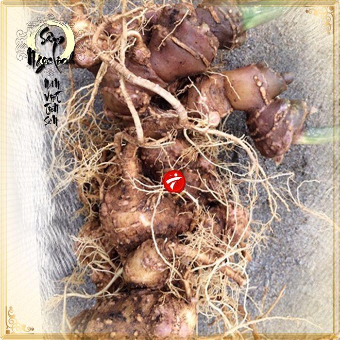 Sâm Ngọc Linh trồng 30 tuổi củ to loại 1,2 kg/củ 4