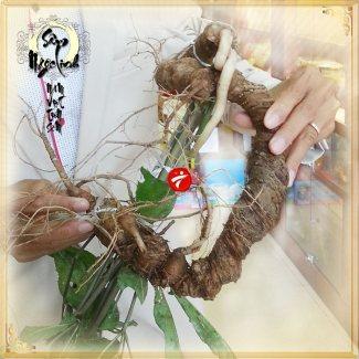 Sâm ngọc linh tự nhiên loại 6 lạng/củ