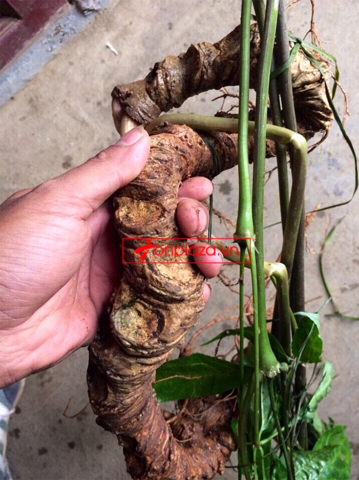 Sâm Ngọc Linh tự nhiên tươi loại 8 lạng/củ 2