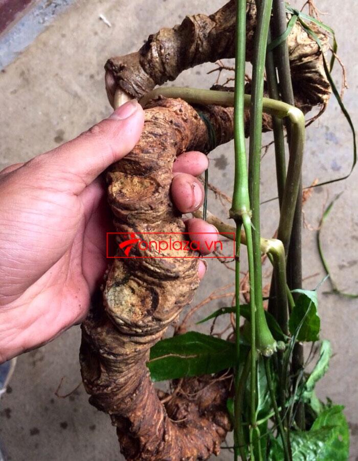 Sâm Ngọc Linh tự nhiên tươi loại 8 lạng/củ 4