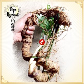 Sâm Ngọc Linh tự nhiên tươi loại 8 lạng/củ