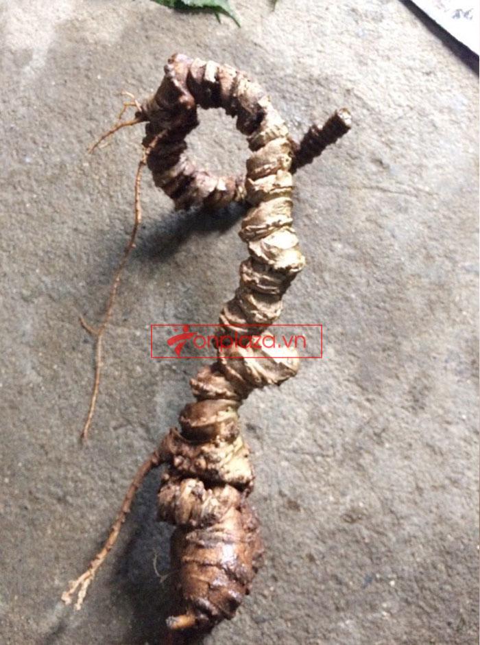 Sâm Ngọc Linh tươi tự nhiên loại củ 5,9 lạng 4