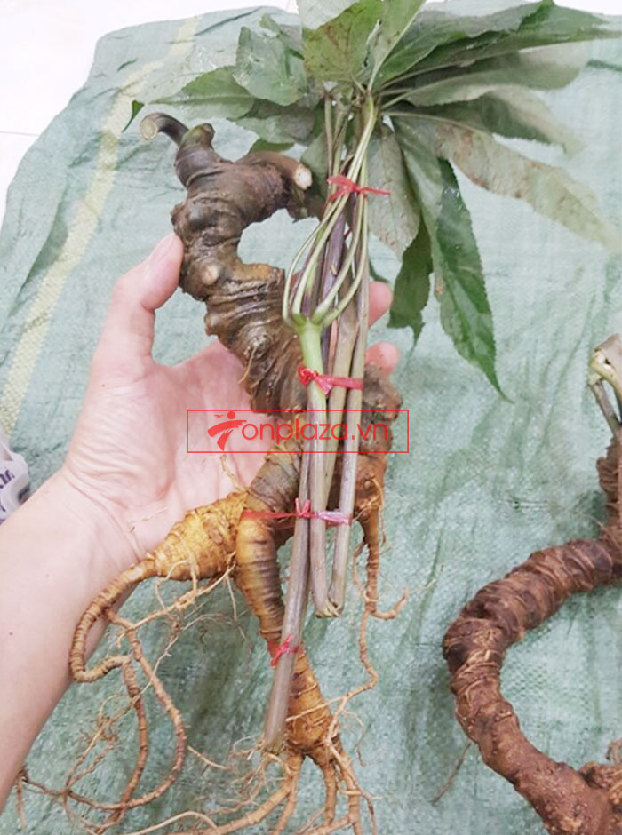 Sâm Ngọc Linh tươi tự nhiên loại củ 5,9 lạng 5