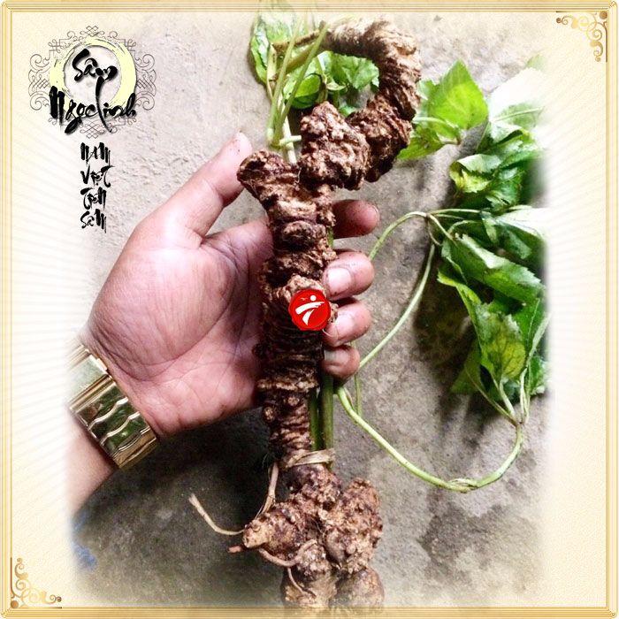 Sâm Ngọc Linh tươi tự nhiên loại củ 5,9 lạng 6
