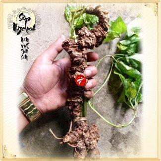 Sâm Ngọc Linh tươi tự nhiên loại củ 5,9 lạng