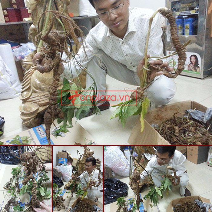 Sâm Ngọc Linh tươi tự nhiên loại 1,5kg/củ 1