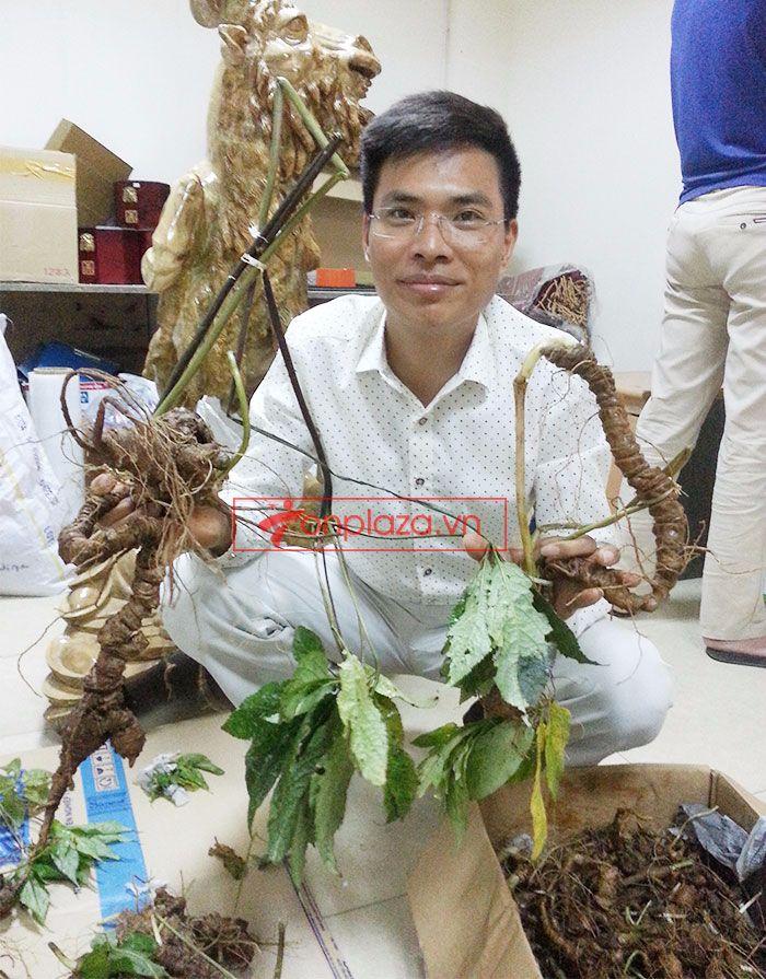 Sâm Ngọc Linh tươi tự nhiên loại 1,5kg/củ 2