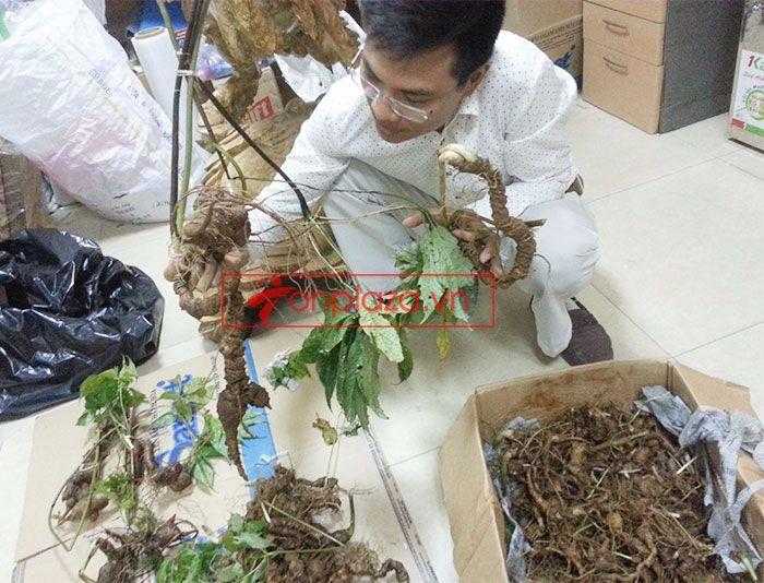 Sâm Ngọc Linh tươi tự nhiên loại 1,5kg/củ 3