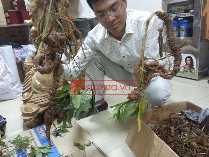 Sâm Ngọc Linh tươi tự nhiên loại 1,5kg/củ 5