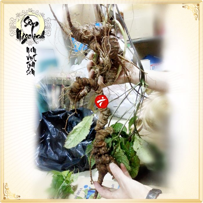 Sâm Ngọc Linh tươi tự nhiên loại 1,5kg/củ 8