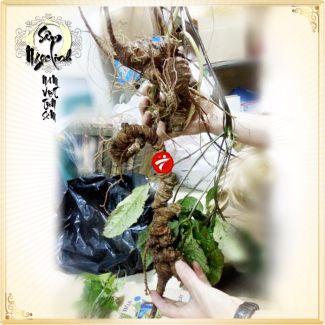 Sâm Ngọc Linh tươi tự nhiên loại 1,5kg/củ