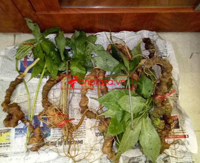 Sâm Ngọc Linh tươi tự nhiên 10 - 20 củ/1kg 10
