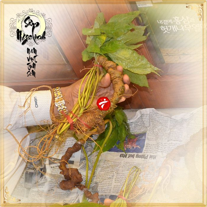 Sâm Ngọc Linh tươi tự nhiên 10 - 20 củ/1kg 12