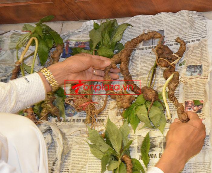Sâm Ngọc Linh tươi tự nhiên 10 - 20 củ/1kg 2