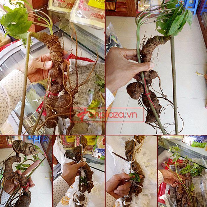 Sâm Ngọc Linh tươi tự nhiên loại 1kg/củ 1