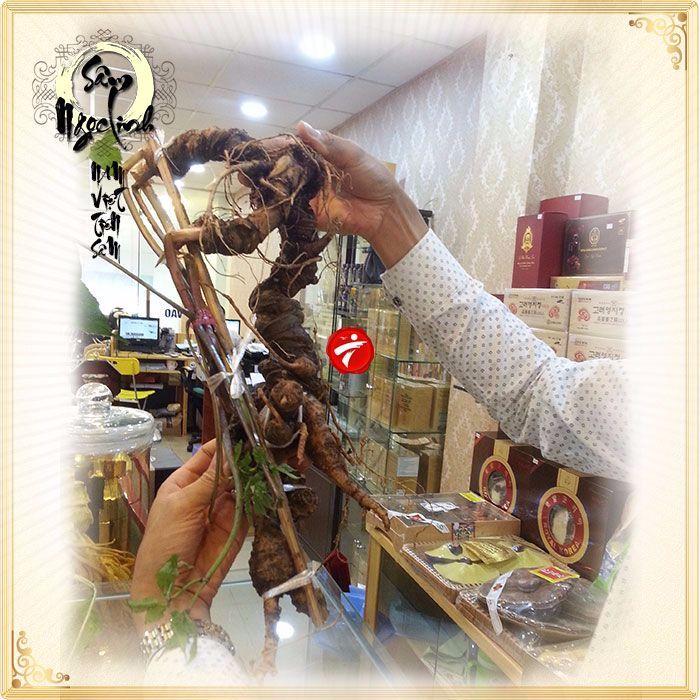 Sâm Ngọc Linh tươi tự nhiên loại 1kg/củ 10