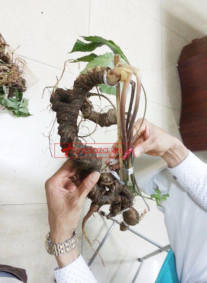 Sâm Ngọc Linh tươi tự nhiên loại 1kg/củ 3