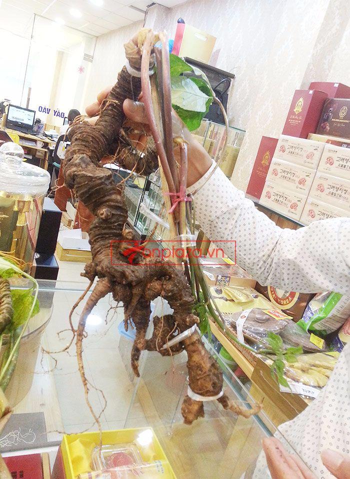 Sâm Ngọc Linh tươi tự nhiên loại 1kg/củ 6