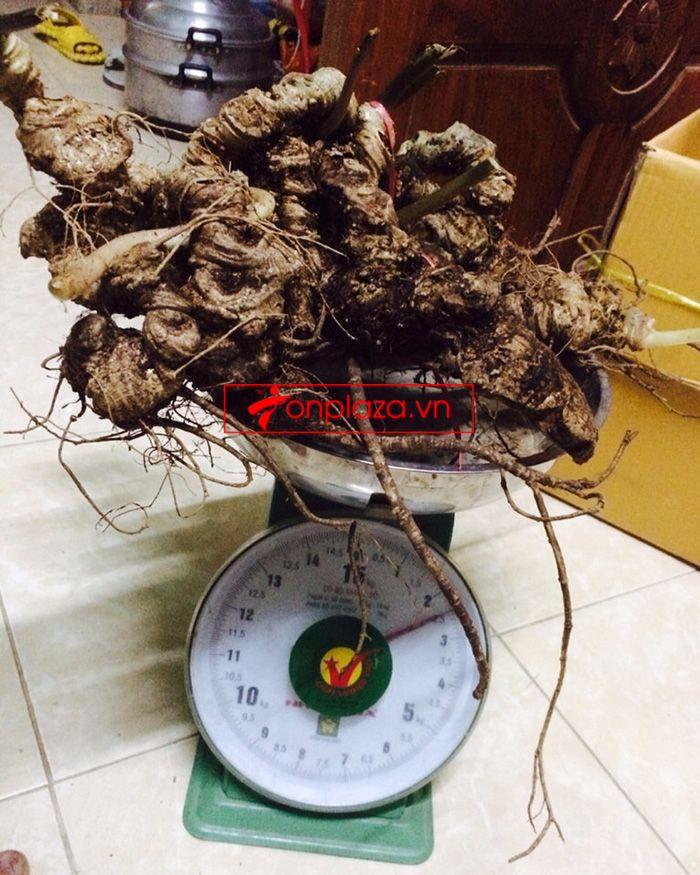 Bình ngâm sâm Ngọc Linh tươi 41 lít loại 2,3kg/củ 9