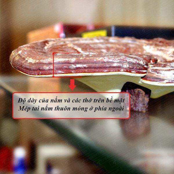 Nấm linh chi đỏ có một số đặc điểm mà người tiêu dùng nên chú ý