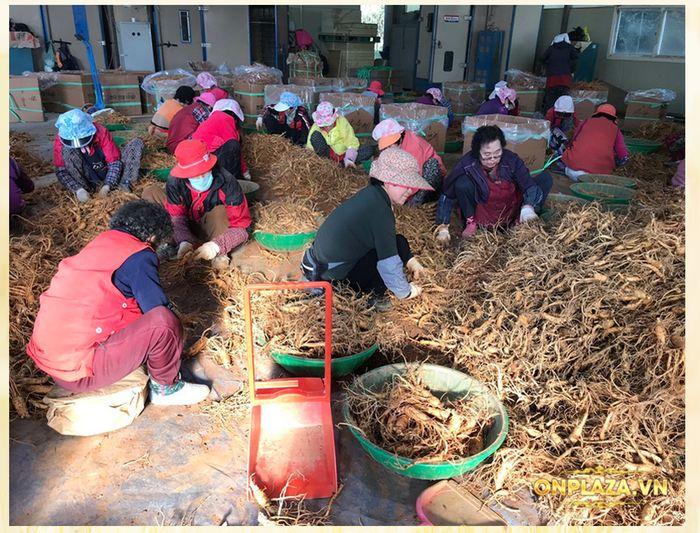 quy trình khai thác sâm tươi Hàn Quốc 1