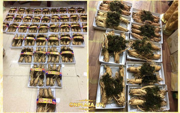 quy trình khai thác sâm tươi Hàn Quốc 7