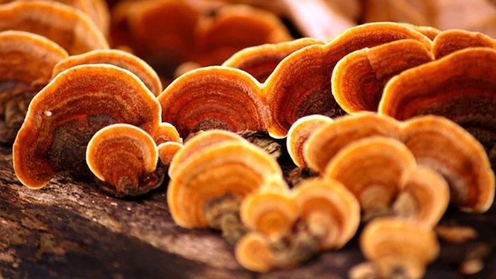 Nấm linh chi đỏ là sản phẩm nấm chất lượng nhất