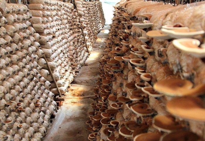 nấm linh chi có thể được trồng trên bịch rơm rạ