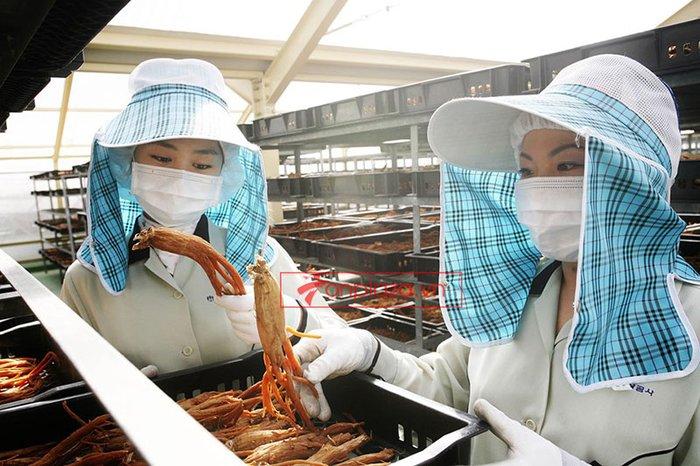 quy trình sản xuất và đống gói sp hồng sâm củ khô cao cấp chính phủ kgc hộp thiếc 1