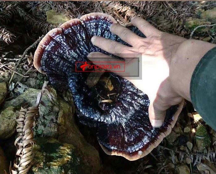 Nấm lim xanh rừng Quảng Nam tai nhỏ, già nấm hộp 1kg L309 13