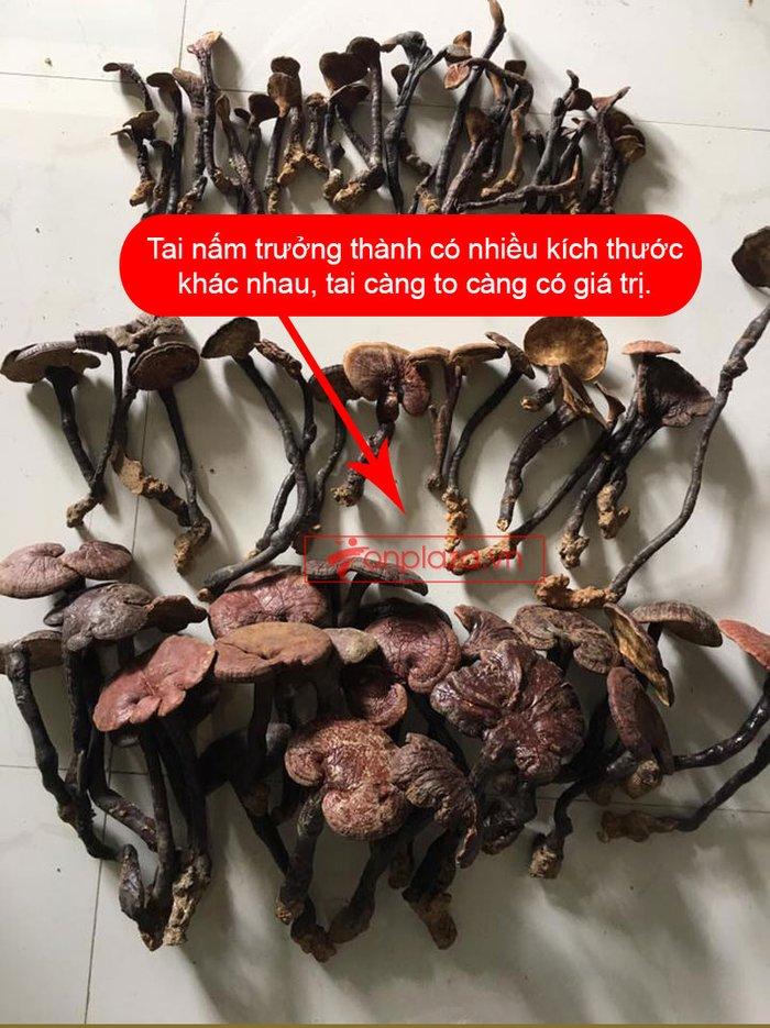 Nấm lim xanh rừng tự nhiên Quảng Nam tai nhỏ hộp 0.5kg L310 6